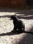 coloseum cat